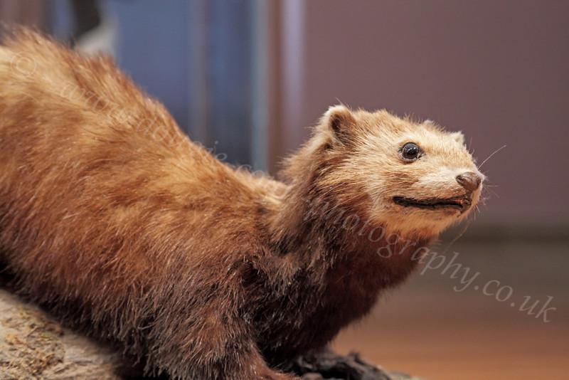 Mongoose - Kelvingrove Museum - 17 May 2012