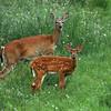 N - Deer