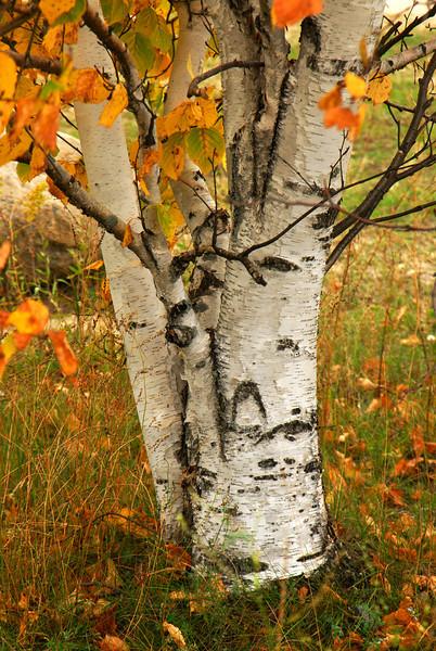 Zippel Bay State Park - Birch Tree - 01