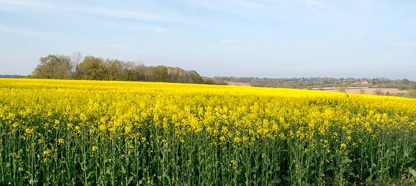 Rape Seed Fields Worcestershire
