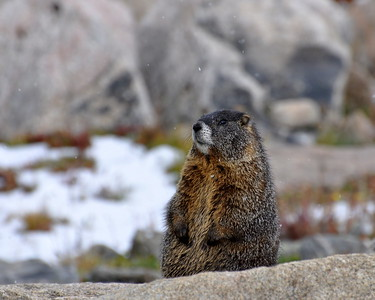 Just a marmot enjoying the snow!! I love going up Mt.Evans and watching these cute critters!!