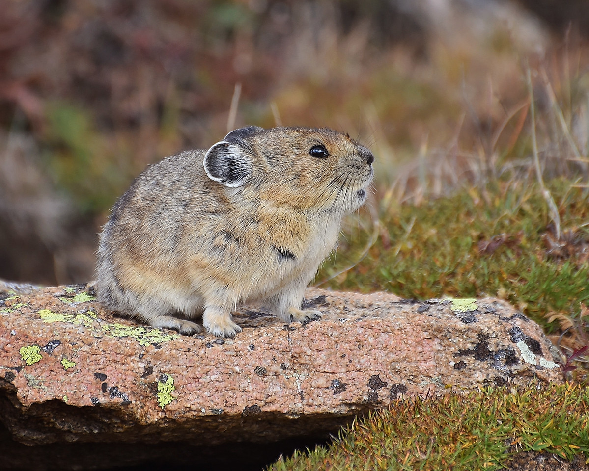 I love pikas..they are one of my favorite little animals to watch!! They stay busy..busy up in the tundra gathering grass to store for the winters!!