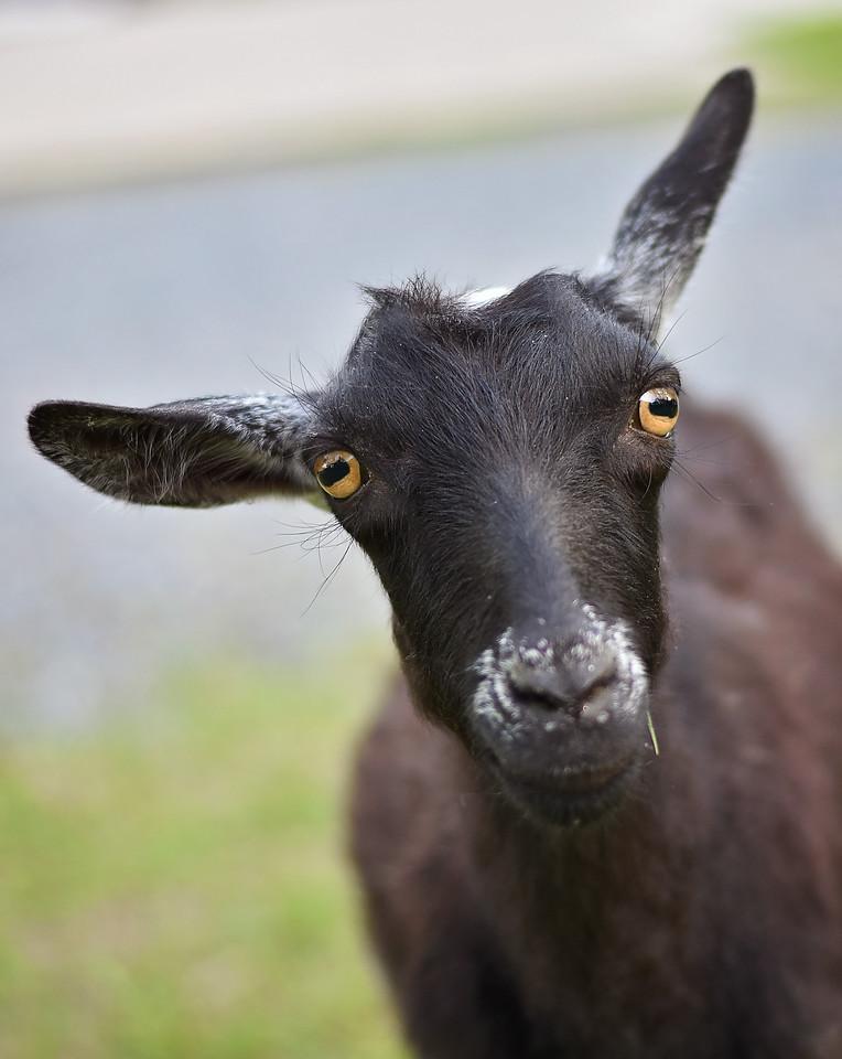 My nephews goat...Jack!!