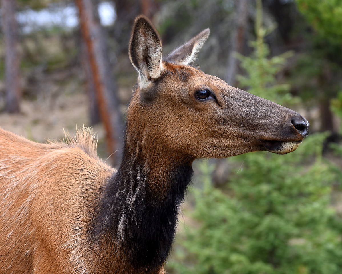 Its been a crazy last 5 or 6 days..birthdays..nephew being born and now my mom has been in the hospital!!  Saw this elk out in RMNP..always love watching them!!