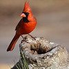 Beautiful male cardinal..love that red!!