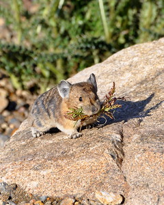 Another busy little pika!!
