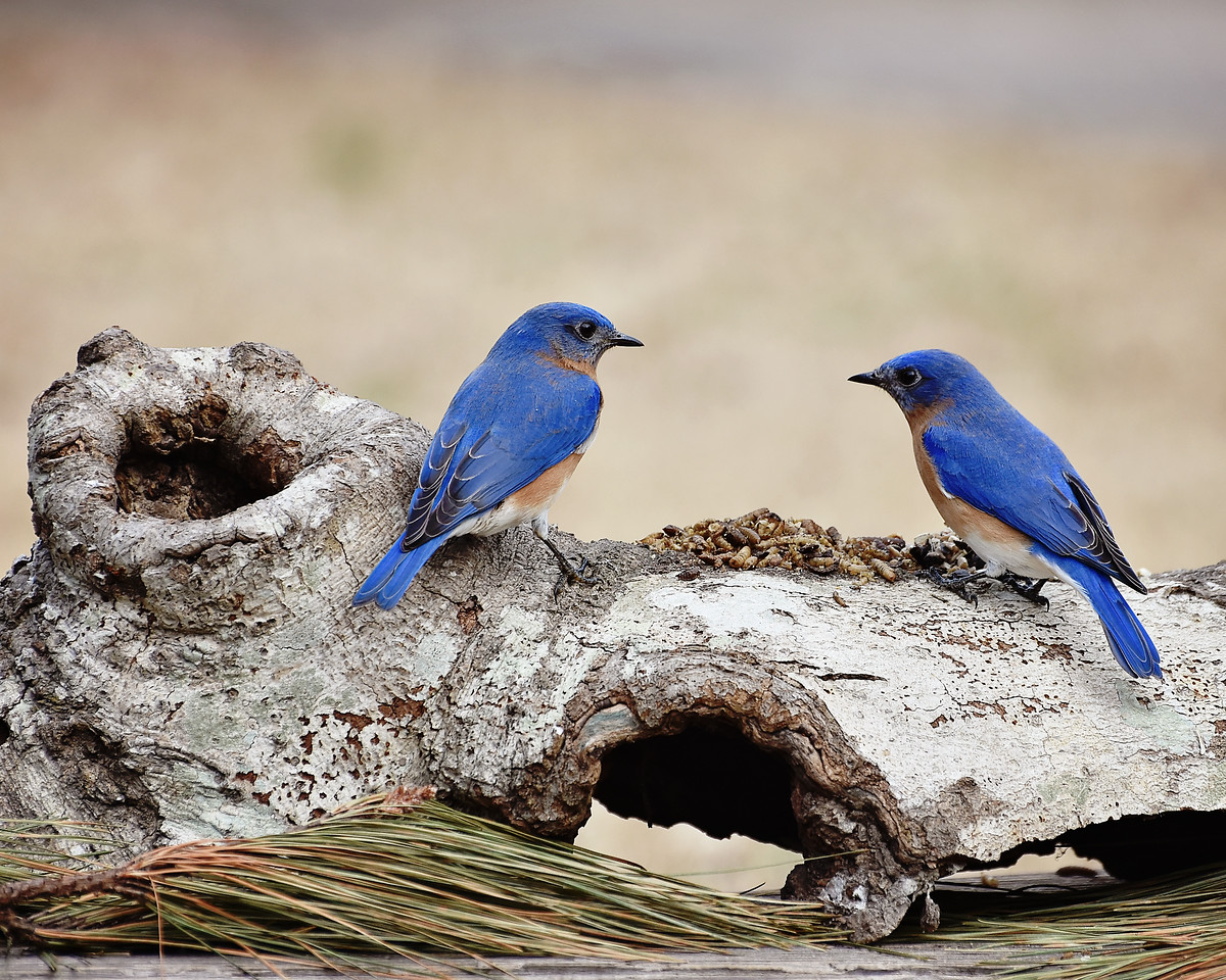 Two bluebirds trying to decide who's eating first!!
