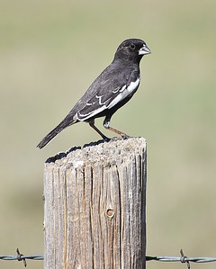 Colorado State Bird...Lark Bunting!!