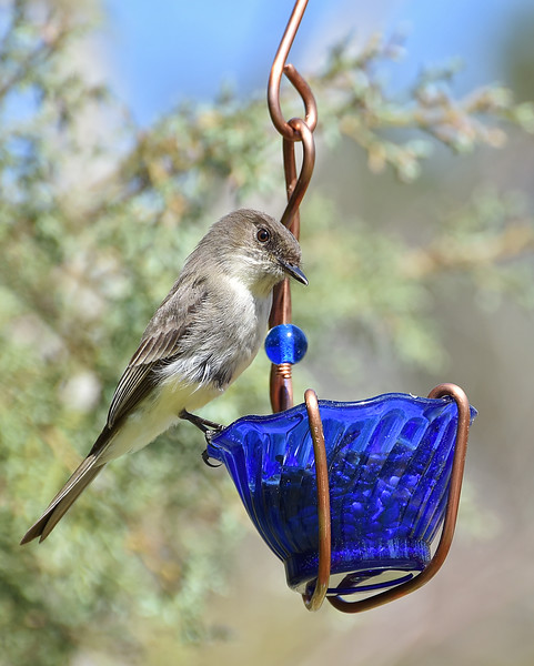 Got the bluebirds a new food bowl..but this eastern phoebe decided to try it out!!