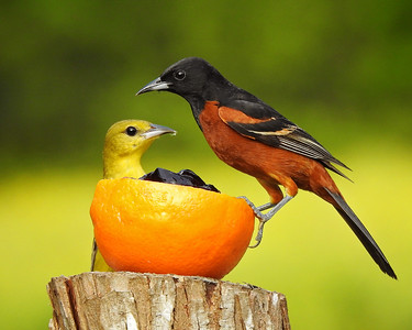 Mr.&Mrs. Orchard Oriole