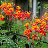 Day 233 - Blooming Pride of Barbados<br /> Thu. July 17, 2014<br /> <br /> I was afraid that I lost it from frost early this year, but it looks like they are doing a lot better than last year.  I'm loving this!