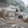 Day 321 - Hoary Marmot<br /> Sun. June 18, 2017