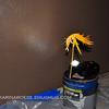 "Primitive set up for ""<a href=""http://karinaboese.smugmug.com/My-Daily-Photos/The-World-Through-Karinas-Eyes/7947139_B5NTj#735934793_8F88C"">Dead Yellow Leaf</a>"" Daily photo Tue. December 8, 2009 (Day 197)"