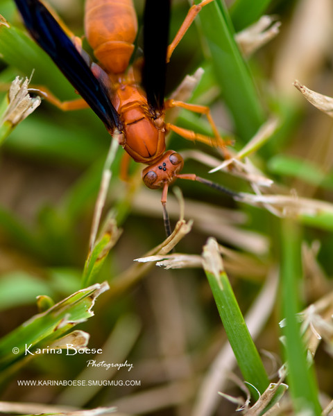 Among The Grass<br /> Fri. September 3, 2010 (Day 96)<br /> <br /> I always thought this wasp look tough. They live under my outdoor patio umbrella. Somebody needs to hush them away.