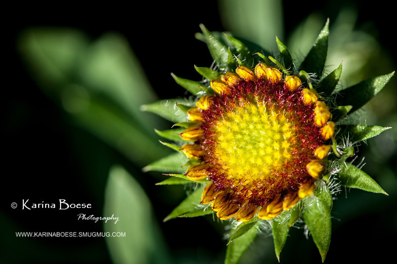 Indian Blanket Flower Bud<br /> Thu. April 12, 2012 (day 138)