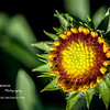 Indian Blanket Flower Bud<br /> Thu. April 12, 2012 (day 138)