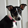 My Little Patches<br /> Fri. July 27, 2012 (day 216)<br /> <br /> Patches sure is getting big every day.... she is now 44lbs! <br /> I hope she'll behave when we have guests in our house.