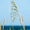 June Grass<br /> Sat. June 30, 2012 (day 206)<br /> <br /> I just love these tall grasses that they have on Miramar Beach (Destin, Florida).<br /> Here's one for you to mark the last day of June!