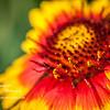 Blanket Flower Stamen<br /> Sun. April 15, 2012 (day 141)