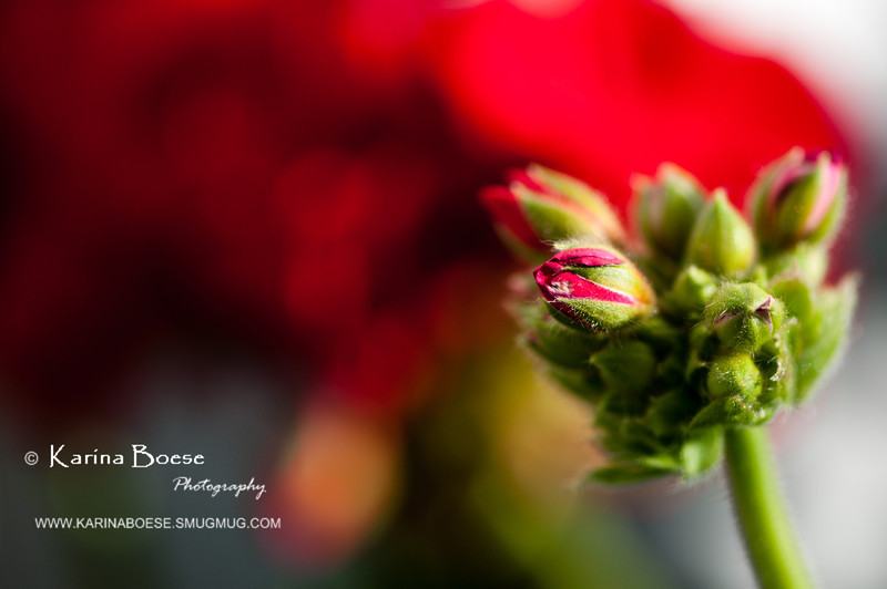 Geranium's Bud<br /> Fri. April 6, 2012 (day 132)<br /> <br /> This year... I'm crazy about red geranium!