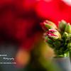 Geranium's Bud<br /> Fri. April 6, 2012 (day 132)<br /> <br /> This year... I'm crazy about red geranium!