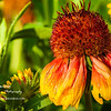 Blanket Flower Seedhead<br /> Mon. April 16, 2012 (day 142)