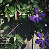 Clematis<br /> Tue. April 10, 2012 (day 136)<br /> <br /> I'm really enjoying this Houston weather & I've been busy gardening all month...<br /> So this Daily photo project will be back dated for the next 2 weeks!!<br /> <br /> This is the first year I've seen this clematis bush flowering... woo-hoo!