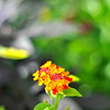 Lantana<br /> Mon. May 7, 2012 (day 163)<br /> <br /> I think I have a stomach bug started this past weekend.<br /> Pffff... another colorful Monday if I must say.