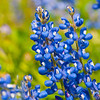 Bluebonnets 2012<br /> Sun. April 1, 2012 (day 127)<br /> <br /> We have such beautiful blooms this year!