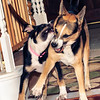 Play Time!<br /> Fri. June 8, 2012 (day 195)<br /> <br /> It's Friday....!  Angel and Patches were having the evening play time.