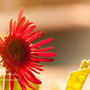 Gerbera Daisy Basking in The Sun<br /> Fri. April 20, 2012 (day 146)
