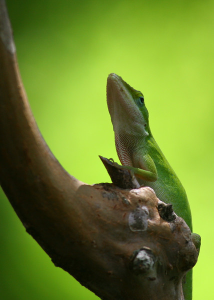 Gecko pauses at Crepe Myrtle juncture