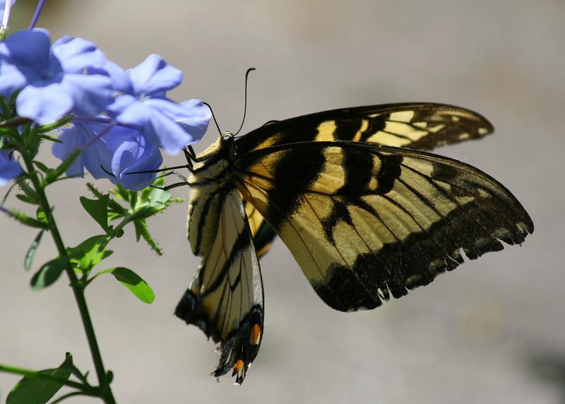 Butterfly feasting on Plumbego flower