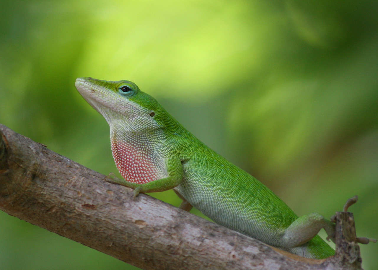 Gecko showing off.