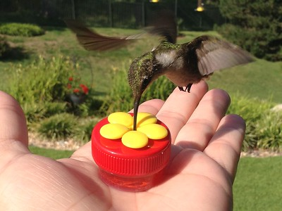 Hummingbird Drinking Nectar From My Hand