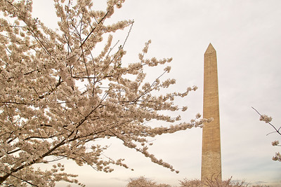 Washington Blossoms