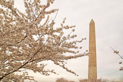 Washington Blossoms