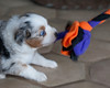 February 20, 2010<br /> Ah. . . . a toy that I can tug with.  We just learned that Izzy loves to tug!  Yeah