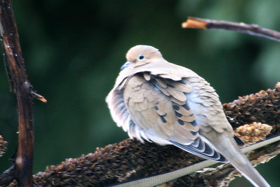 And the mourning dove was outside also...