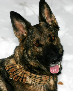 And the dapper scarf!!  With a German Shepherd pin...  can you get any cooler?