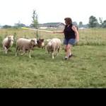 Olivia working sheep 7 04