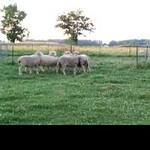 Olivia Sheep1