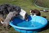 The pups are being introduced to the puppy wading pool today.  They seemed to love it.  Here they are watching their auntie Annie show them how it's done.