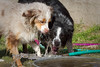 March 9th ~ Here are the culprits.....Tiki and Morgan the water hounds.  They both love to play in the water and with the hose.  And as you will see the pups are trying to decide if they want to jump in a play too!