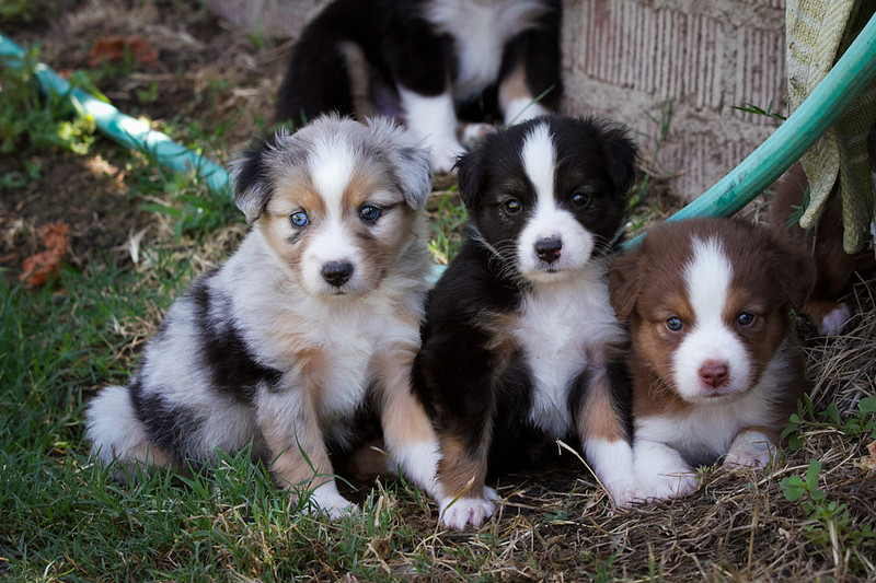 Blue Merle, Black Tri#1 and Red Tri Males