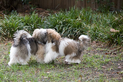 Scooter (L) and Jessie (R) - having fun in the yard attacking each other. They were 6 months old at the time.