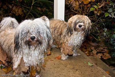 Dec 16, 2007  Here is what you get when you mix a yard full of leaves, 2 inches of rain, and two crazy havanese. Scooter is on the left and Jessie is on the right.  They thought it was a game having dad try to get all of the leaves off of them....