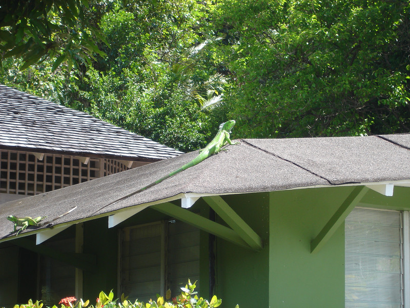 Two large iguanas on the roof at Young Island.