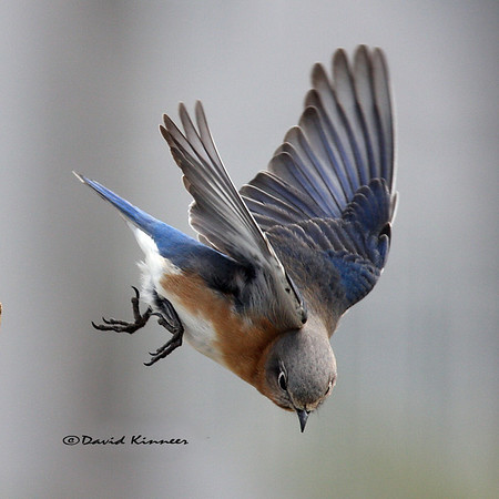 My Favorite Bluebirds