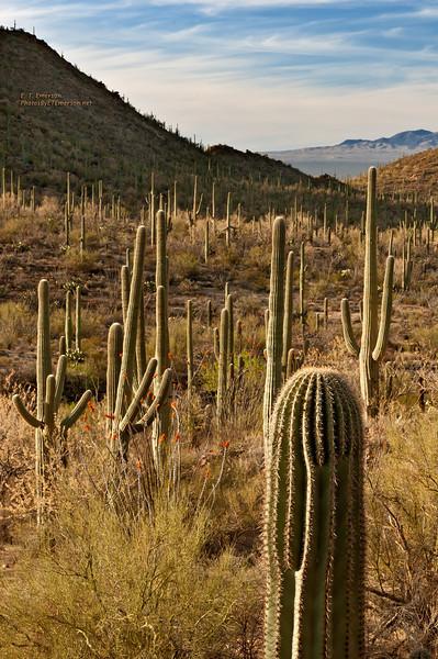 Saguaro NP In Tucson